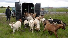 #goatvet congratulates Portland Airport for hiring goats with their guard  Llama To Clear Shrubs And Thistles