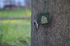 Female Hairy Woodpecker, you can tell it's not a downy because it doesn't have black spots on it's white tail feathers, it's also larger.