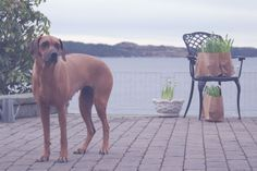 Rhodesian Ridgeback, Dogs, Animals, Animales, Animaux, Pet Dogs, Doggies, Animal, Animais
