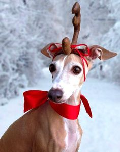 #Winter #photography #Reindeer dog Italian #greyhound ToniK FurBalls http://blog.blanketid.com/2013/12/oh-deer/