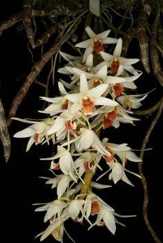 Dendrobium heterocarpum-1 | by afriorchids