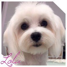 Lola #bichonmaltes #bichon #puppycut #peluqueriacanina #zaragoza #petsofinstagram #guauquepelos #pets #perrosmolones #malteses