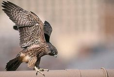 The peregrine falcon, whose salvation began 40 years ago, commands the skies above the Empire State Building