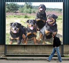 Our Rottweilers on Billboard. :-)