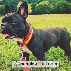 Top 50 Breeds ebook Giveaway - Puppies 4 All - 2019 Loyal Friends, Best Friends, Boston Terrier, French Bulldog, Puppies, Dogs, Cute, Animals, Amazing