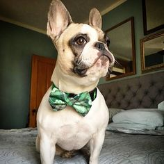 Green is definitely @spockthecutiepiedfrenchie's color. The shamrocks are a bonus. . . . #Frenchbulldog #frenchie #frenchiesofig #instafrenchie #frenchielove #frenchbully #doglife #dogoftheday #squishyfacecrew #thefrenchdog #etsy #Dogfashion #pamperedpets #petaccessories #bowtie #bowtieswag #bowtiesarecool #dogsinbowties #green #shamrock #stpatricksday #stpattysday #etsy #handmade #dogmodel