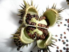 Datura seeds and seed pod, [ Angel Trumpet, Loco Weed]