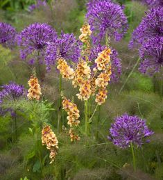 Verbascum 'Cotswold Beauty' with Allium. Hardy perennial to 120 cm. Flowers early-late summer