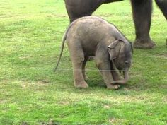 Baby elephant doesn't understand its trunk. soo adorable
