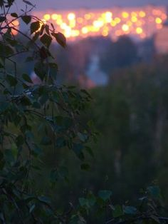 A Russian Sunset in the foreground Birch Trees -