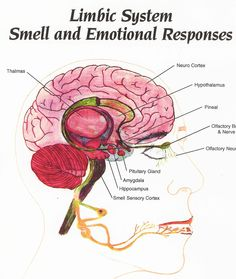 Power of aroma! Directly affects LIMBIC BRAIN: HYPOTHALAMUS/PITUITARY endocrine gland hormone production and sympathetic (fight or flight)/parasympathetic nervous system. AMYGDALA primeval arousal centers that process the memory of emotional reactions. THALAMUS relays sensory signals to and from spinal cord and cerebrum. HIPPOCAMPUS memory indexer sending memories out for long-term storage & retrieval. CINGULATE GYRUS sensory input concerning emotions & regulation of aggressive behavior.
