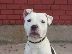 TO BE DESTROYED 7/18/14 Brooklyn Center -P  My name is LIBERTY. My Animal ID # is A1005711. I am a female white and black pit bull mix. The shelter thinks I am about 2 YEARS ...