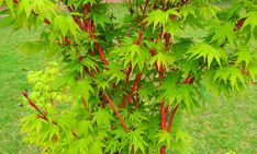 Acer Sango Kaku Senkaki (Coral bark maple) Large Pot, Pickup Only or Local Delivery (Ballarat & Surrounds) or Winter Mail-order bare root. Coral Bark Maple, Hello Hello Plants, Potted Christmas Trees, Winter Leaves, Acer Palmatum, Vase Shapes, Japanese Maple, Deciduous Trees, Modern Landscaping