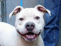TO BE DESTROYED - THURSDAY - 10/02/14 -Manhattan Center -P  JULIO - A1015148   MALE, WHITE, PIT BULL MIX, 5 yrs STRAY - STRAY WAIT, NO HOLD Reason STRAY  Intake condition UNSPECIFIE Intake Date 09/24/2014, From NY 10456, DueOut Date 09/27/2014,