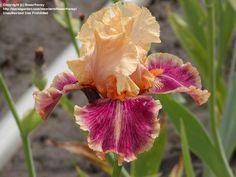 TB Iris germanica 'Aardvark Lark' (Black, 2002)