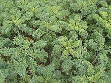 Grünkohl – Wikipedia