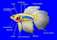 1000 images about betta diseases on pinterest betta for Betta fish swim bladder