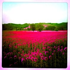 A rare pink sunflower field in Tuscany