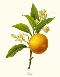 Orange - Citrus sp. Fruit Botanical Illustration by Redoute. Giclee Art Print $19.95