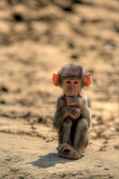 I would like to have a tiny little monkey like this, but I would be too scared it would tear me apart in my sleep.