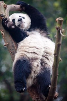 Cute Panda Stretch #animals, #pandas, #pinsland, https://apps.facebook.com/yangutu/