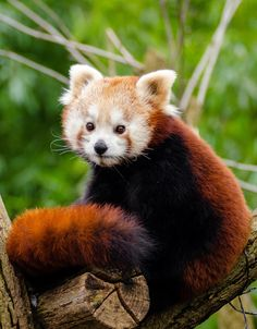 Picture of a red panda