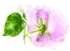 elaine searle botanical painter
