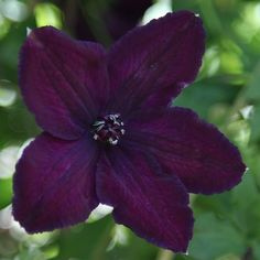 Buy clematis (group Clematis Dark Eyes - Produces masses of late summer flowers: 2 lt pot cane): Delivery by Crocus Clematis Plants, Purple Clematis, Clematis Flower, Clematis Vine, Garden Plants, Red Climbing Roses, Climbing Vines, Black Flowers, Colorful Flowers