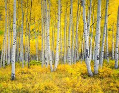 Autumn aspen forest in the Rocky Mountains,Colorado