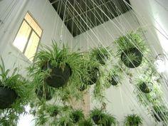chlorophytum | spider plants, green walls and plants