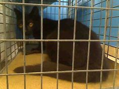 URGENT! ON NYCACC WED., 6/5/13 EUTHANASIA LIST! 2 year old GRACE is PREGNANT and needs out of NYCACC NOW!!! Brooklyn Center  My name is GRACE. My Animal ID # is A0967032. I am a female black domestic sh mix. The shelter thinks I am about 2 YEARS old.  I came in the shelter as a STRAY on 05/31/2013 from NY 11225, owner surrender reason stated was STRAY.