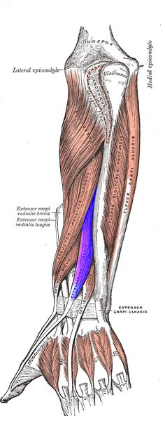 """Extensor pollicis longus originates at """"the dorsal surface of the [ulna/interosseous], next to the origins of abductor pollicis longus and extensor pollicis brevis. Passing through the third tendon compartment, ... it crosses the wrist ... before turning towards the thumb using Lister's tubercle ... as a pulley. It ... is separated from the extensor pollicis brevis by a triangular interval, the anatomical snuff box... The tendon is ... inserted on the base of the distal phalanx of the…"""