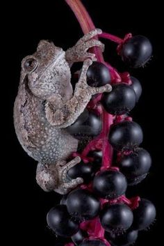 ~~A gray tree frog is clinging to the berries of a pokeweed plant by Cathy Keifer~~