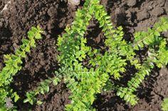 Die Heckenmyrthe ist als kräftig wachsender Flächenbegrüner die schneller wachsende Alternative zum klassischen Buchsbaum, dabei schnittverträglich und formbar. Ob zur Fächenbegrünung oder als Hecke, die Heckenmyrthe ist eine schöne, robuste Pflanze, die nahezu krankheitsfrei und frosthart ist.
