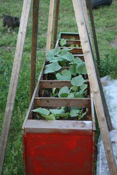 Cucumbers doing well in garden of file cabinets