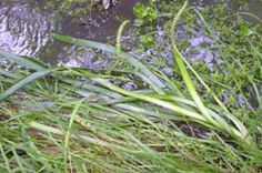 Water Ribbond (Triglochin procera) above water, Robust herb, foliage laying on surface of water, attractive in water gardens,tubers were an important food source for the aborigines. Water Gardens, Edible Plants, Native Plants, Melbourne, Wildlife, Surface, Herbs, Food, Essen