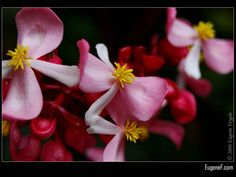 Pink Cane Begonia #RedFlowers #freewallpapers