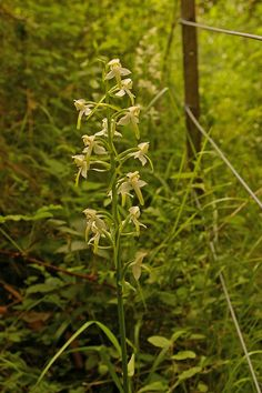 Platanthera Orchids | Greater Butterfly Orchid (Platanthera chlorantha):: OS grid TQ1852 ...