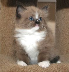 Ragamuffin cats | We do have other kittens that are coming available.