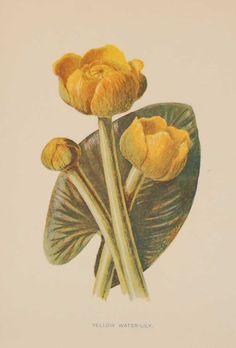 Antique botanical print titled Yellow Water-Lily by F E Hulme. The print was published circa 1895, this set of prints are referenced as being produced between 1885 and 1895. How To Age Paper, Vibrant Colors, Colours, Vintage Botanical Prints, See Picture, Prints For Sale, Lily, Yellow, Antiques