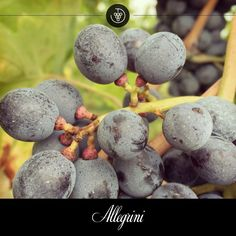In the Villa Cavarena vineyard the peduncle (bottom) of the Corvina grape turns red as a symbol of maturation.