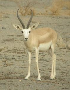 Saudi gazelle | Saudi Gazelle