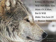 Wolves are beautiful animals trying to survive just like humans in their own habitat.