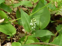 Wild Lily-of-the-Valley, (Canada Mayflower)