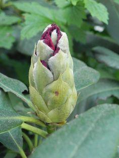 Rhododendron: der erste ist schon abgeblüht, der nächste kurz vor der 'Expolsion' Artichoke, Vegetables, Garden, Flowers, Plants, Garten, Gardening, Floral, Vegetable Recipes