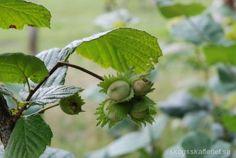 Hasselns frukter, hasselnötterna, används som snacks, i brödbak, till efterrätter, och som tillbehör i matlagning och sallad. Hasselnötter kan antingen ätas när de är gröna och omogna, eller