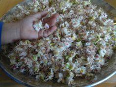 Kastanienblüten für Badesalz und Tee