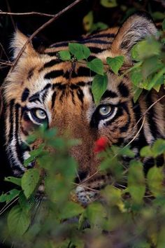 Male tiger photographed near a village after killing a cow inside Bandhavgarh in India. One of a series of amazing big cat shots shared in an interview with National Geographic Wildlife Photographer Steve Winter