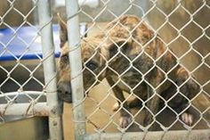 URGENT!!! She is on the list to DIE if not adopted!!!!  Catahoula mix female 1-2 years old  Kennel A30 Available NOW**** $51 to adopt   Located at Odessa, Texas Animal Control. https://www.facebook.com/speakingupforthosewhocant/photos/pb.248355401855372.-2207520000.1414791512./866696666687906/?type=3&theater