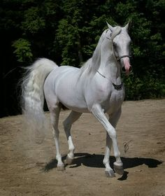 Beautiful Arabian Horses, Majestic Horse, Clydesdale, Appaloosa, Arabian Stallions, Andalusian Horse, Friesian Horse, Most Beautiful Animals, Cute Horses